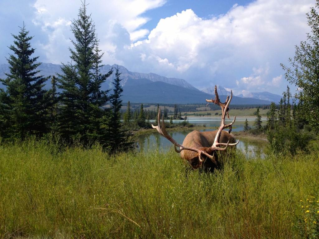 elk-jasper-national-park
