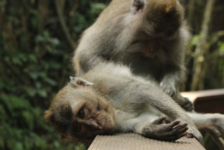 monkey-cleaning