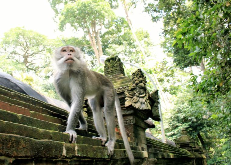 monkey-walking